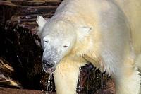 Baby Eisbär in Nahaufnahme