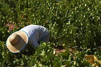 Montilla, Harvesting Pedro Ximenez wine grapes, Bodegas Cabriñana, Vintage in a vineyard in Montilla, Montilla-Moriles area, Cordoba province, Andalus...
