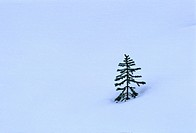 A young tiny spruce tree emerging through a heavy blanket of winter snow.