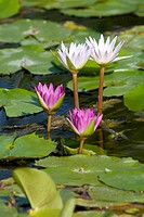 Water lilies bloom in a pond.