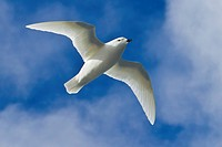 View of a snow petrel flying against a blue sky.