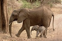 Three hour old African elephant and her mother
