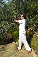 Collecting olives, Firenze, Tuscany, Italy, UNESCO World Heritage Site