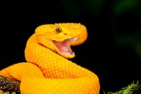 Eyelash Viper, Bothriechis schlegeli, Native to Southern Mexico into Central America