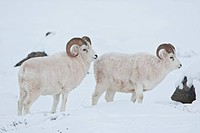 A pair of Dall sheep rams look up from grazing on frozen grasses and sedges under the snow in the Smith Mountains of ANWR