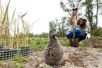 Educational progamme at Midway Atoll. Tourists and volunteers help pull invasive plant species not native of Midway and re_plant native species.