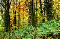 Prior's Wood in autumn, Portbury, North Somerset, England