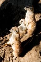 Three curious ferrets