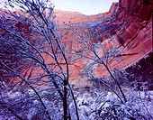 Zion National Park, Utah. USA. Snow on trees below vertical cliffs near Upper Emerald Pools. Zion Canyon.