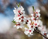 Blossoming Almond