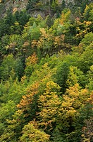 Autumn forest, Ordesa National Park, Pyrenees, Huesca, Aragon, Spain
