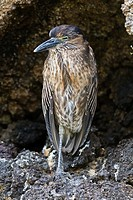 Juvenile striated Heron Butorides striata on Genovesa Island in the Galapagos Island Archipelago, Ecuador