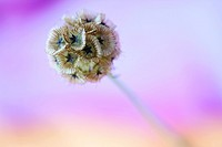 distinctive scabiosa stellata, paper moon - fine art photography