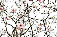 end of Spring season last magnolia left on tree - fine art photography