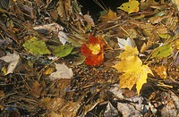 Autumn Leaves, New England
