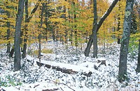 Snowy Forest in Autumn, Michigan