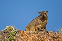 Rock hyrax / Cape hyrax Procavia capensis on the lookout from rock in the Augrabies Falls National Park, South Africa