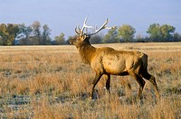 Lone Elk at sunrise, Niobrara National Wildlife Refuge, NE