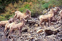 Herd of wild Mountain Goats, Denver, CO