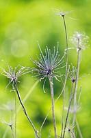 Yarrow (Achillea millefolium), dried plant