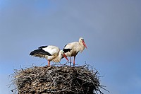 White Stork Ciconia ciconia at the nest