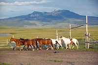 Arabian horses running in corral at Peggy Delaneys ranch in Centennial Valley, near Lakeview, MT