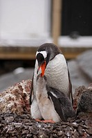 Antarctica, Antarctic Peninsula, Port Lockroy, gentoo penguins, mother feeding chick