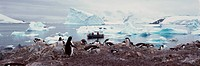 Panoramic view of Gentoo penguins with chicks Pygoscelis papua, ecological tourists in inflatable Zodiac boat with glaciers and icebergs in Paradise H...
