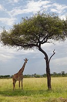 Giraffe and Acacia Tree in grasslands of Masai Mara near Little Governors camp in Kenya, Africa