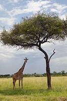 Giraffe and Acacia Tree in grasslands of Masai Mara near Little Governors camp in Kenya, Africa