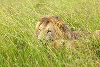 Male lion sleeping in grasslands of Masai Mara near Little Governors Camp in Kenya, Africa
