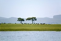 Two acacia trees from a boat view in Lake Naivasha, Great Rift Valley, Kenya, Africa