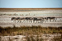 zebra walking in the etosha pan namibia