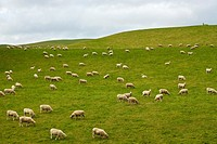 Flock of Sheep in a green meadow South Island, New Zealand