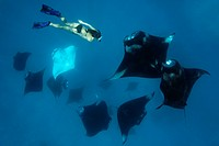 Woman with group of reef mantas Manta alfredi, Baa Atoll, Maldives, Indian Ocean, underwater shot