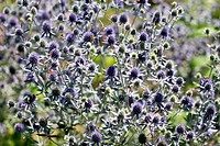 Flat_leaved Eryngo, umbellifer