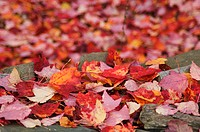 Red leaves in autumn, quebec, canada