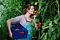 Germany, Bavaria, Munich, Mature woman harvesting tomatoes in greenhouse