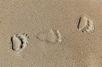USA, Alaska, Bear tracks on sand at Lake Clark National Park and Preserve (thumbnail)