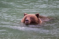 USA, Alasaka, Brown bear in Chilkoot Lake (thumbnail)