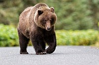 USA, Alaska, Brown bear walking on road near Chikoot Lake