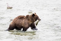 USA, Alasaka, Brown bear in Chilkoot Lake with caught salmon