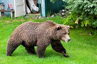 USA, Alaska, Brown bear in garden of lodge at Lake Clark National Park and Preserve