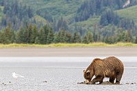USA, Alaska, Brown bear digging for clams at Lake Clark National Park and Preserve