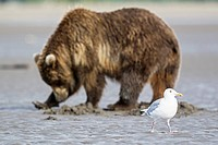 USA, Alaska, Glaucous_winged Gull and grizzly brown bear at Lake Clark National Park and Preserve