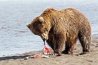 USA, Alaska, Brown bear with caught salmon at Lake Clark National Park and Preserve