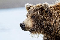 USA, Alaska, Close up of Brown bear at Lake Clark National Park and Preserve