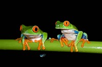 Red_eyed Tree Frogs Agalychnis callidryas on green stem of plant