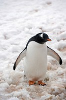 Gentoo penguin pygoscelis papua, antarctica