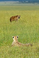 Kenya, Masai Mara, Cheetah stalking Spotted Hyena on savannah near Little Governor´s camp